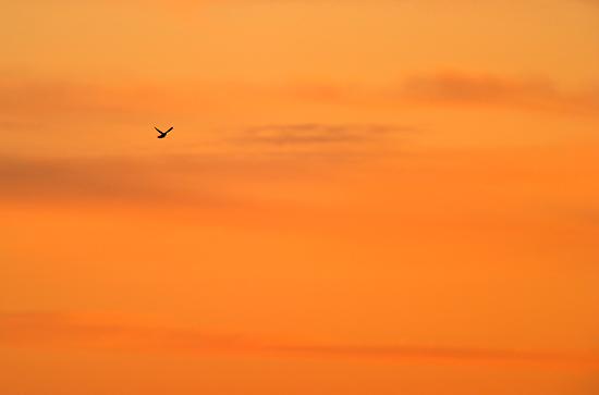 Lone Kestrel