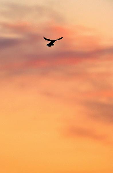 Kestrel At Dawn