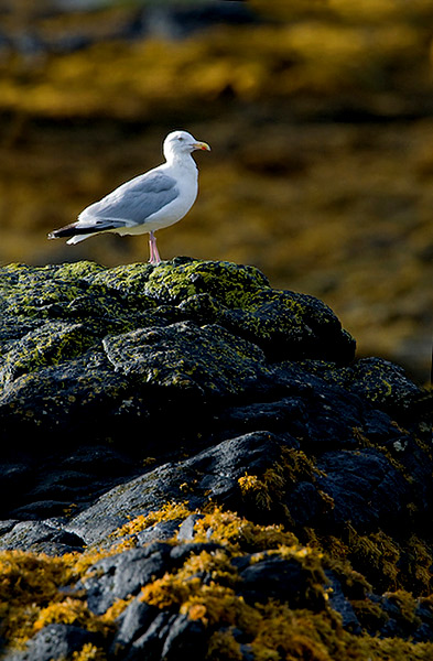 Herring Gull In Setting Sun