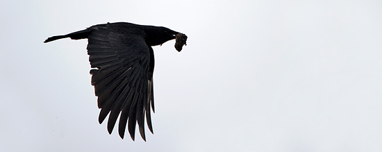 Crow With Prey