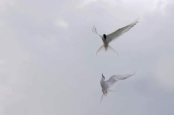 Artic Terns Displaying