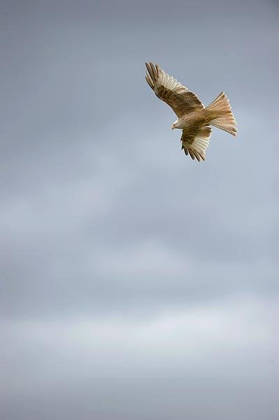 'Leucistic' Kite