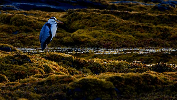Heron At Dawn
