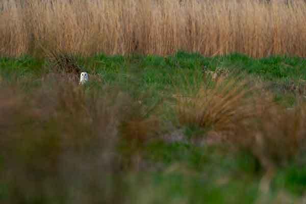 Hiding Barn Owl