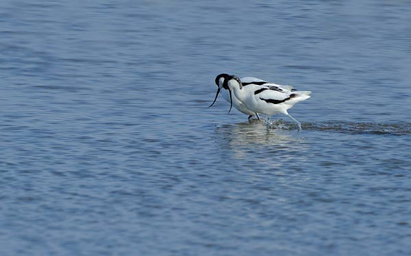 Avocets Courtship