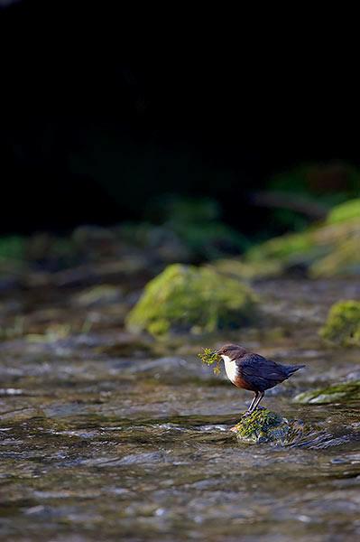 Dipper In Habitat
