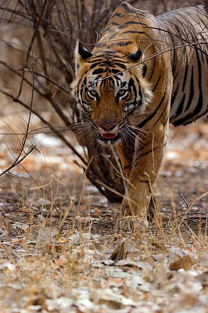 Male Tiger T7
