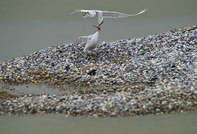 Common Tern' Passing Food'