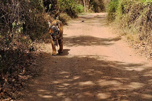 Female Tiger T17