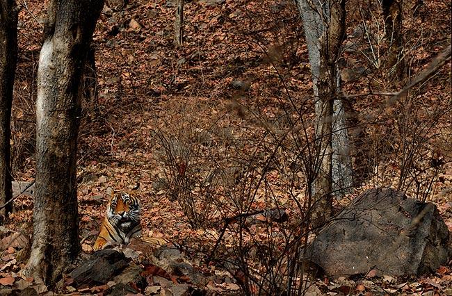 Tiger In Habitat