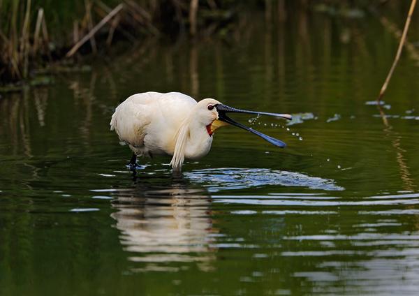 Spoonbill Feeding