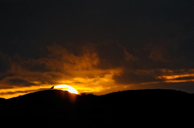 Sunset Buzzard