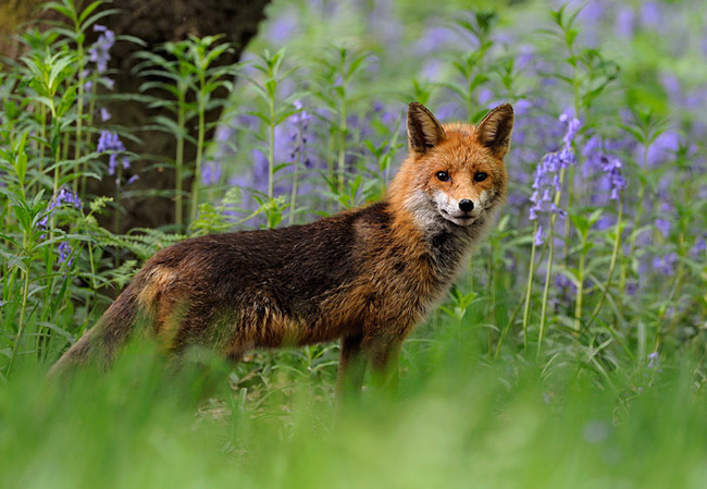 Male Red Fox In Bluebells