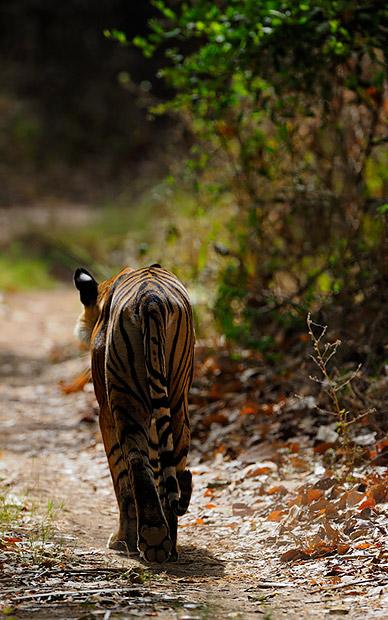 Female Tiger-T17