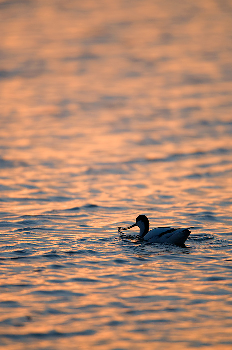 Avocet At Dawn
