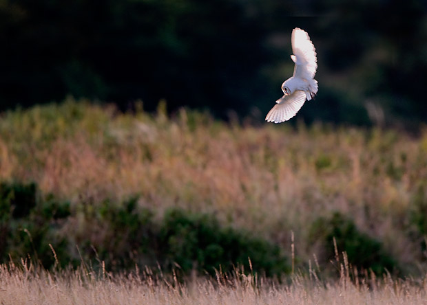 Barn Owl Hunting At Dawn