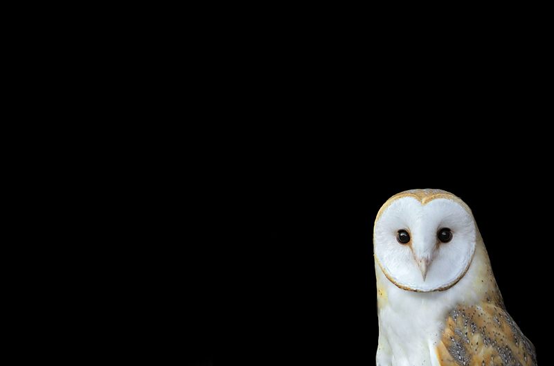 Barn Owl Craig Jones Wildlife Photography