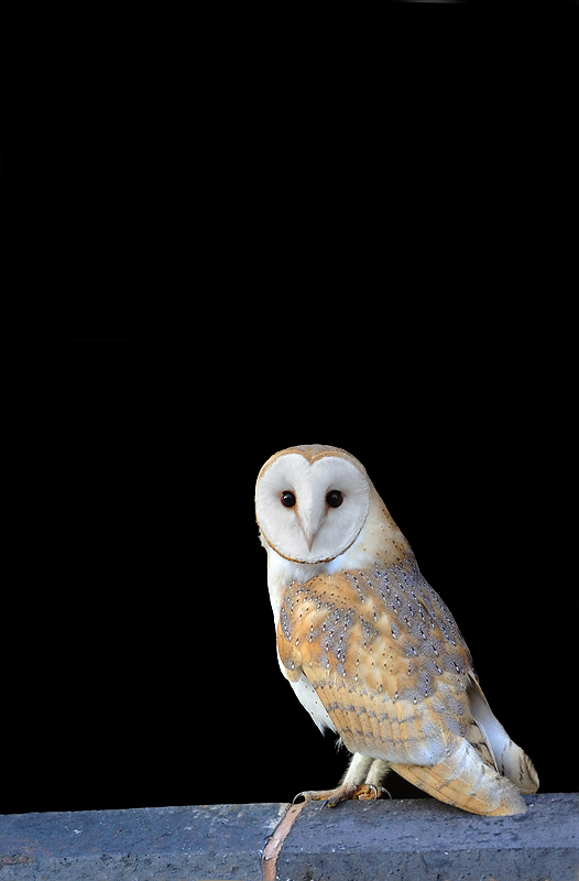 Barn Owl - Craig Jones Wildlife Photography