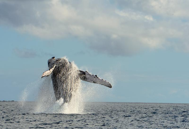 Humpback Whale, Madagascar