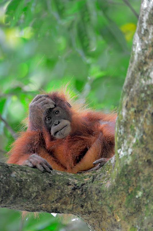 Sumatran Orangutan-Spotlight Sumatra-Craig Jones