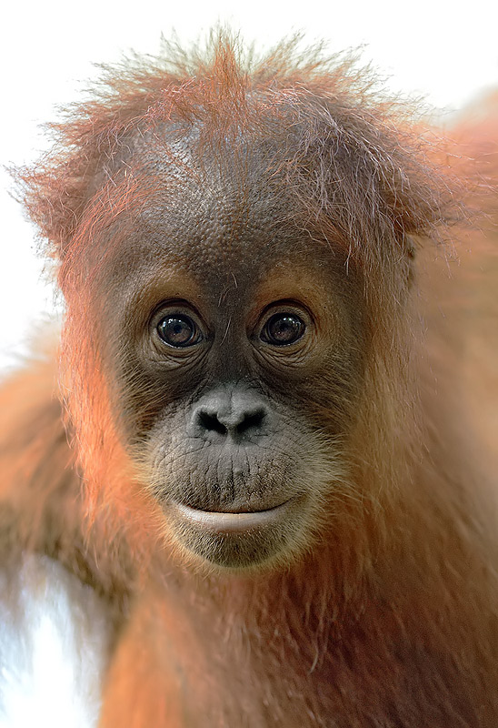 Sumatran Orangutan- Craig Jones Wildlife Photography