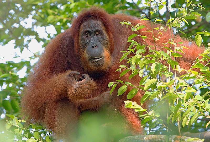 Sumatran Orangutan- Craig Jones Wildlife Photography