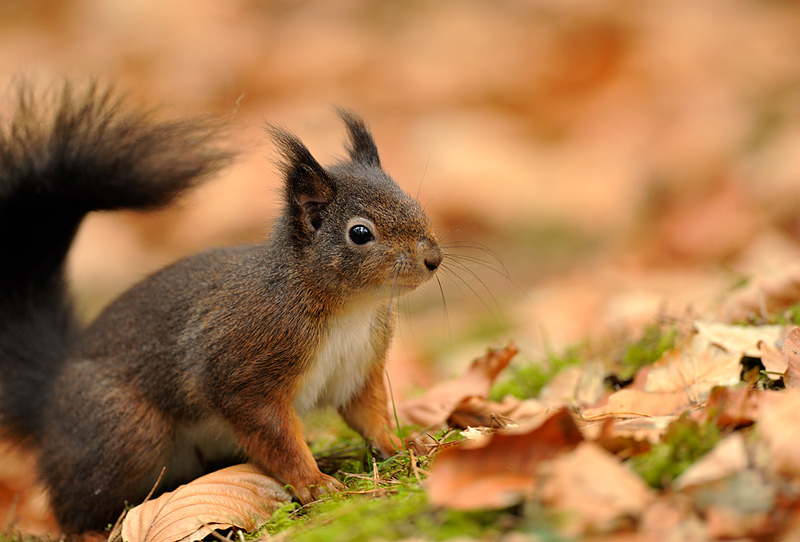 Long Eared Squirrel With my long lens here.
