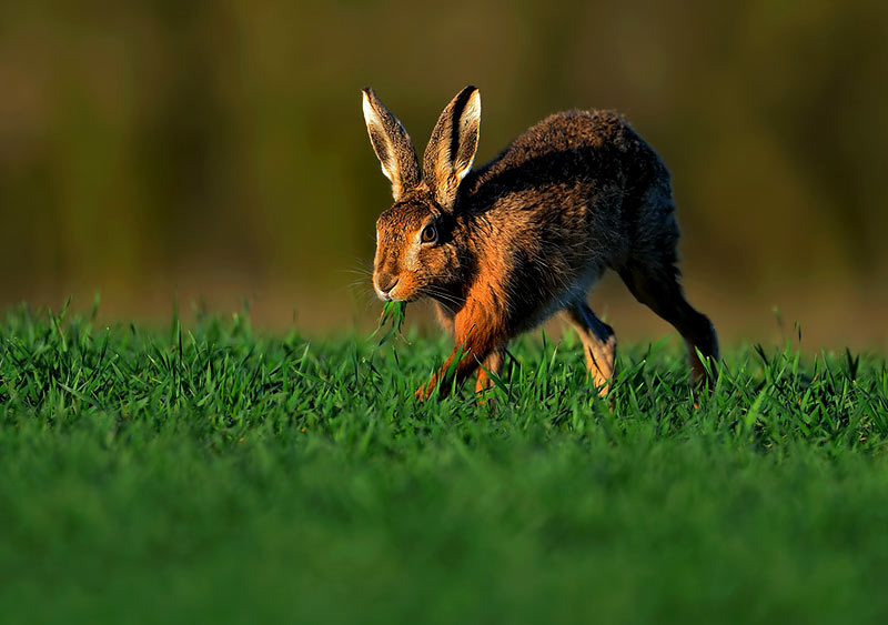 Brown Hare-Craig Jones Wildlife Photography