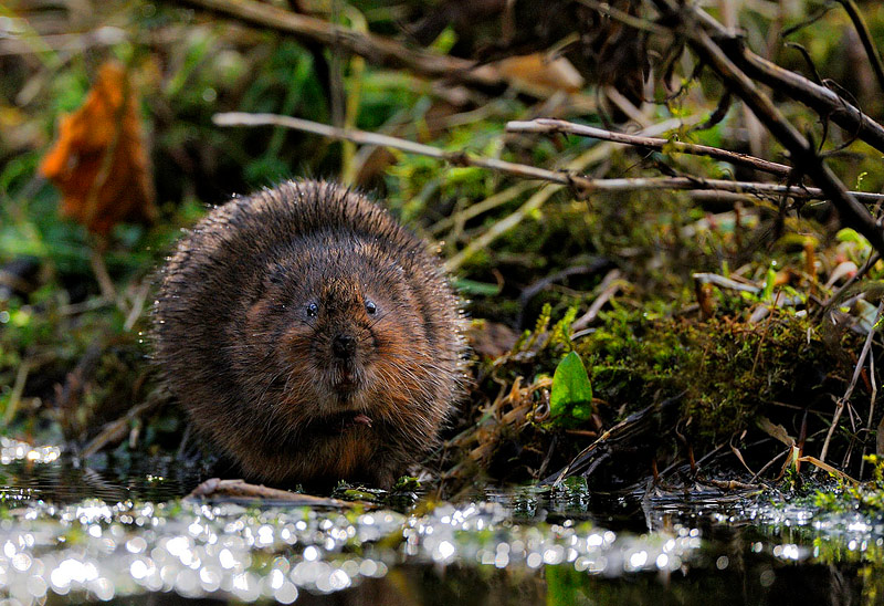 Water vole-=Craig Jones Wildlife Photography