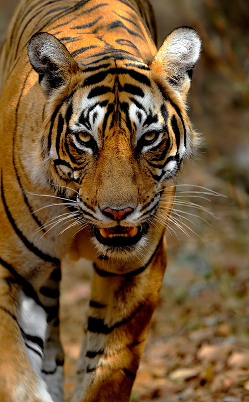 Ranthambhore-The Real Life Jungle Book