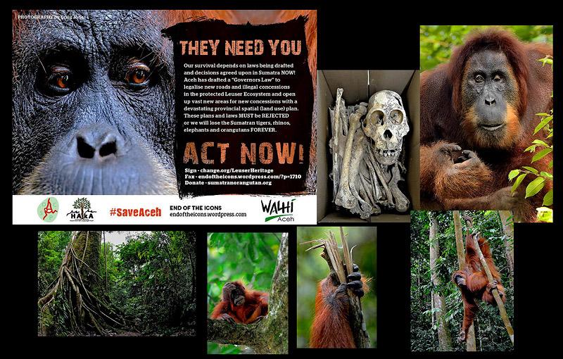 http://www.sumatranorangutan.org/