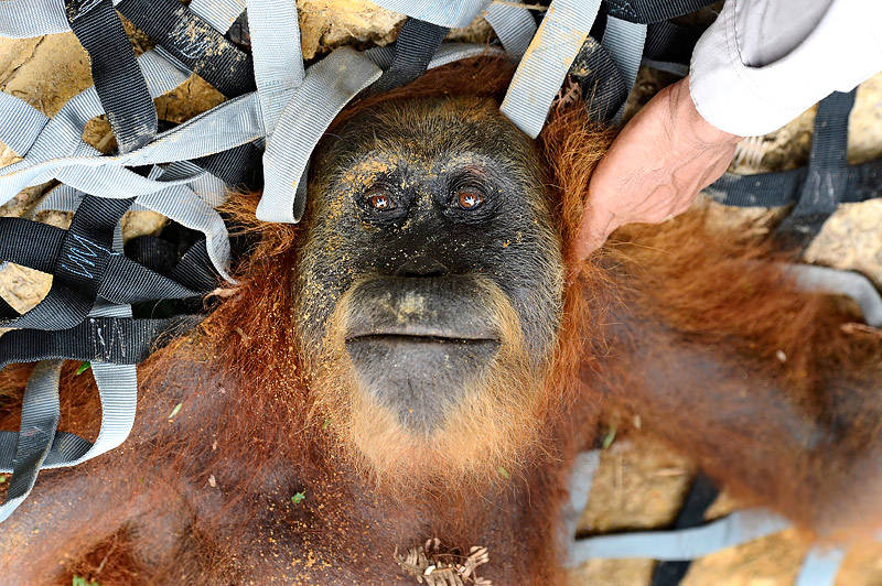 http://wildplanetphotomagazine.com/2014/saving-sumatras-orangutans/