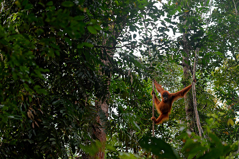 Craig Jones Wildlife Photography Sumatran Orangutans