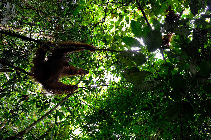 Craig Jones Wildlfie Photography Sumatran Orangutans