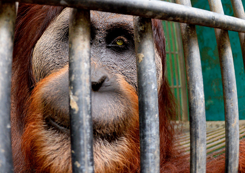 Craig Jones Wildlife Photography Sumatran Orangutan