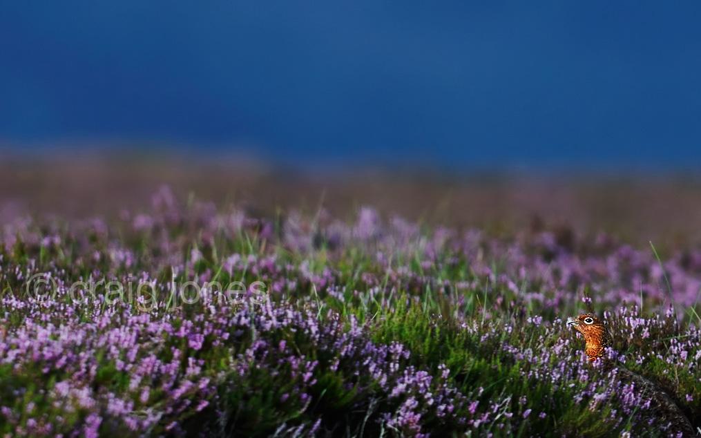 Craig Jones Wildlife Photography .