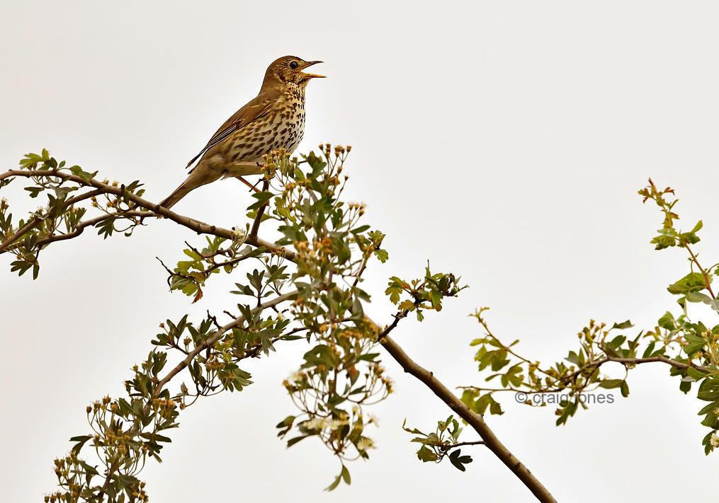 Craig Jones Wildlife Photography Dawn Chorus
