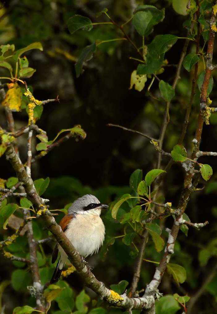 Craig Jones Wildlife Photography Red Backed Shrike
