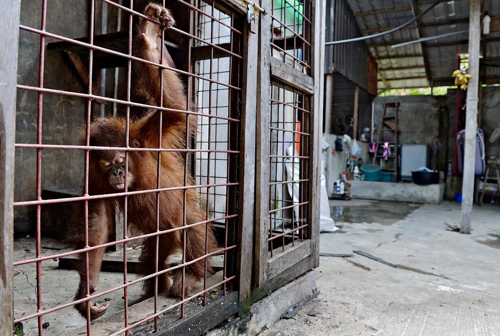 Craig Jones Wildlife Photography Sumatra
